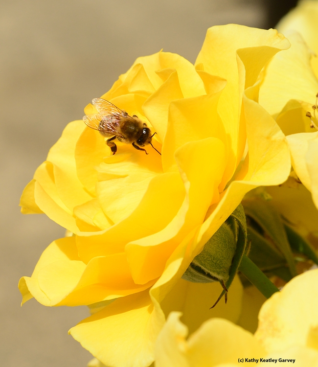 Honey bee foraging on a yellow rose,