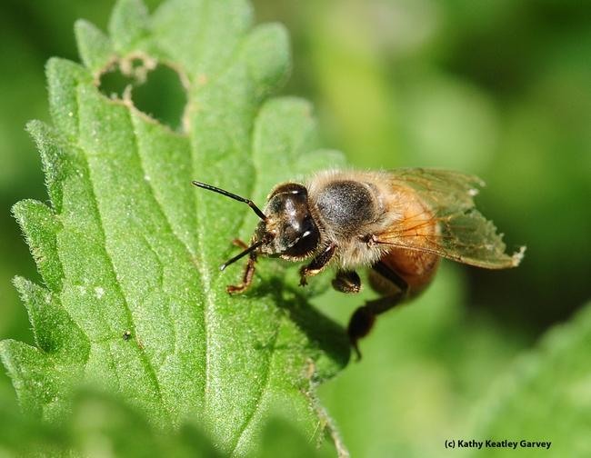 Tattered wings of a honey bee. (Photo by Kathy Keatley Garvey)