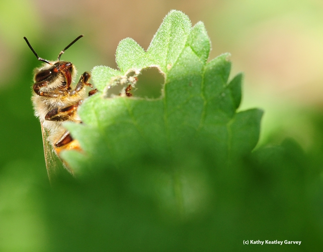 Honey bee thrusts out her proboscis (tongue). (Photo by Kathy Keatley Garvey)