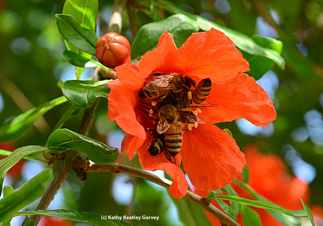 Five honey bees on one pomegranate blossom. (Photo by Kathy Keatley Garvey)