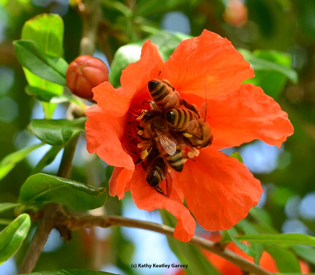Four honey bees on one pomegranate blossom. (Photo by Kathy Keatley Garvey)