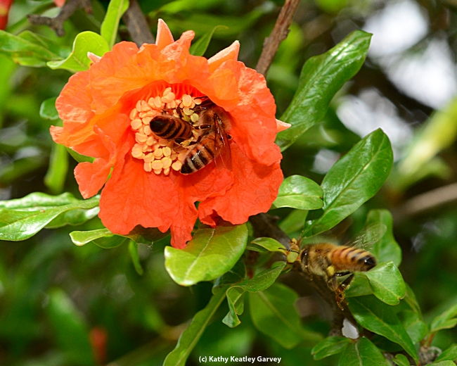 Two bees on one pomegranate blossom, and about to be three. (Photo by Kathy Keatley Garvey)