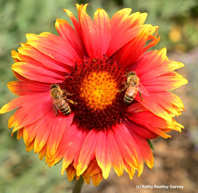 Matched pair: Honey bees on blanket flower (Gaillardia). (Photo by Kathy Keatley Garvey)