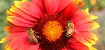 Matched pair: Honey bees on blanket flower (Gaillardia). (Photo by Kathy Keatley Garvey) for Bug Squad Blog