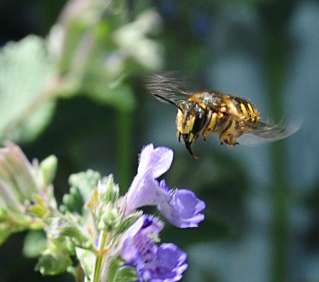 European wool carder bee darts through catmint. (Photo by Kathy Keatley Garvey)