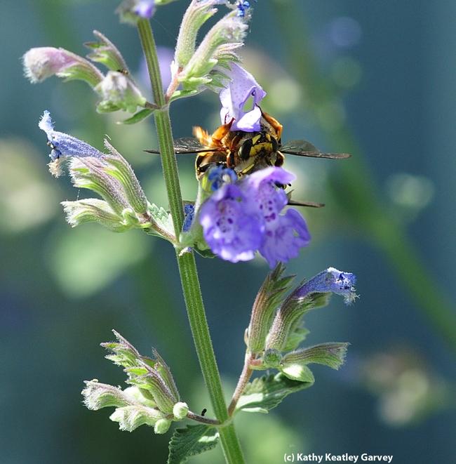 Mating European wool carder bees. (Photo by Kathy Keatley Garvey)