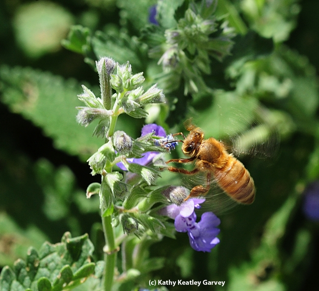 Honey bee heading for a catmint (Nepeta) patch. (Photo by Kathy Keatley Garvey)