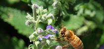 Honey bee heading for a catmint (Nepeta) patch. (Photo by Kathy Keatley Garvey) for Bug Squad Blog