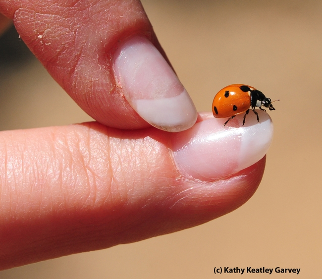 When a ladybug lands on you, it's considered good luck. A gentle push and this one took flight. (Photo by Kathy Keatley Garvey)