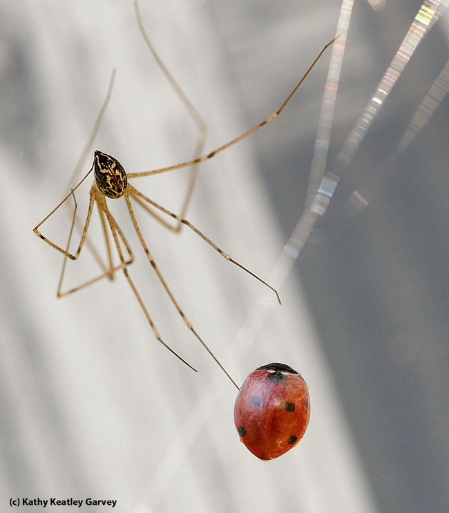 Cellar spider traps and wraps a ladybug. (Photo by Kathy Keatley Garvey)