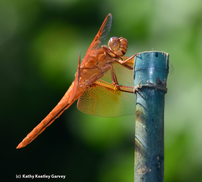 A flame skimmer perches on a bamboo stake. (Photo by Kathy Keatley Garvey)