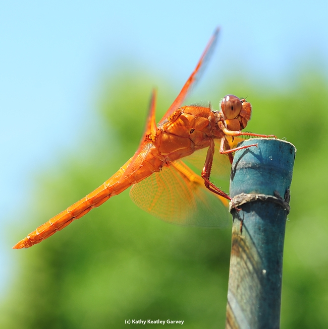 Different view, different time: same flame skimmer. (Photo by Kathy Keatley Garvey)