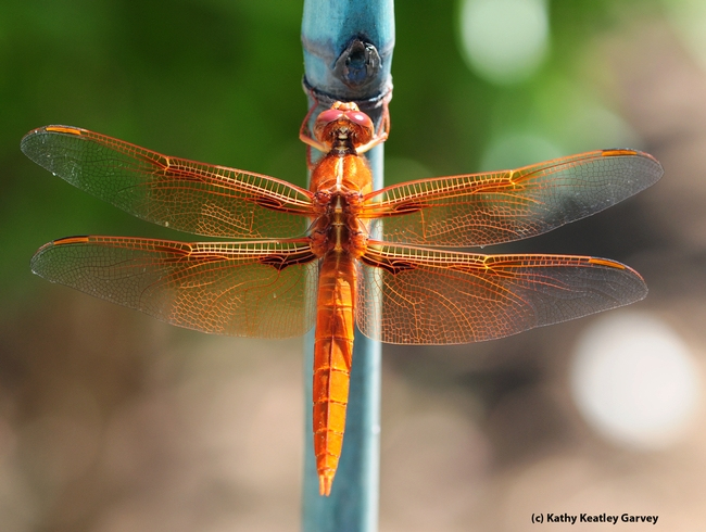 From the back, the flame skimmer is equally gorgeous. (Photo by Kathy Keatley Garvey)