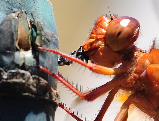 Flame skimmer devouring lunch, an insect he caught in mid-air. (Photo by Kathy Keatley Garvey)