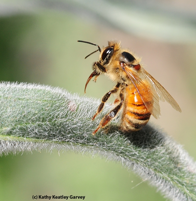 A worker bee staggers and extends her tongue. (Photo by Kathy Keatley Garvey)