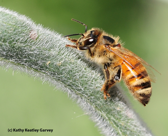 This honey bee died soon after this photo was taken. (Photo by Kathy Keatley Garvey)