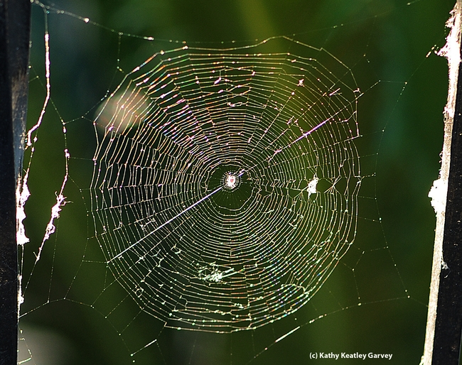 Backlit by the morning sun, a spider web glows, glistens and glitters. (Photo by Kathy Keatley Garvey)