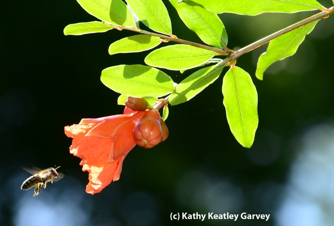 A backlit honey bee heads for a pomegranate blossom. (Photo by Kathy Keatley Garvey)