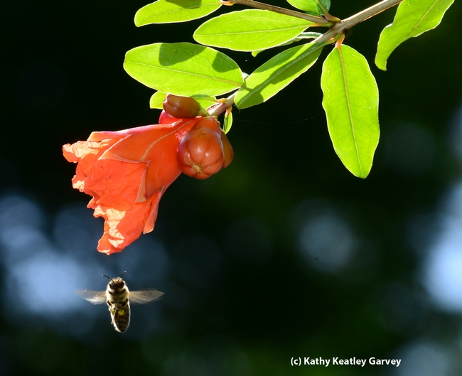 Caught in flight, a honey bee makes a beeline to a pomegranate blossom. (Photo by Kathy Keatley Garvey)