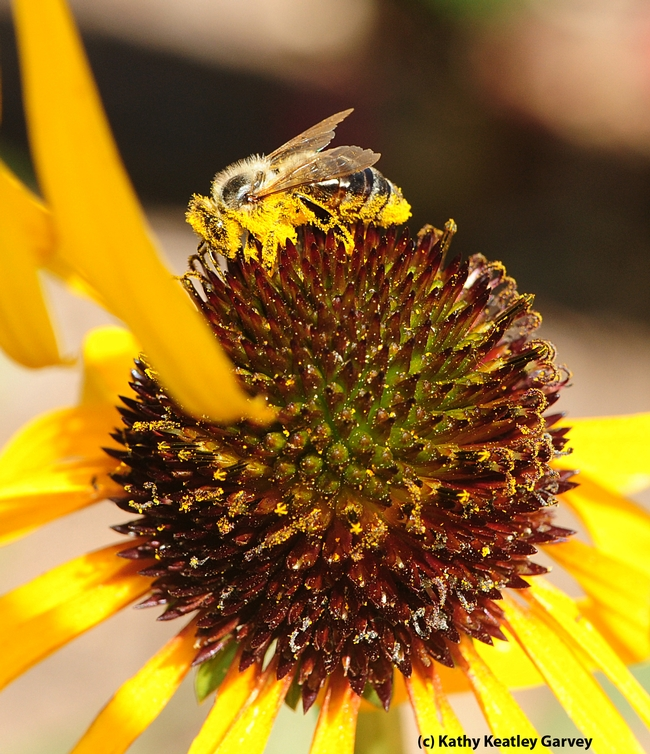 Honey bee covered with pollen; she is on a yellow coneflower, Echinacea paradoxa. (Photo by Kathy Keatley Garvey)