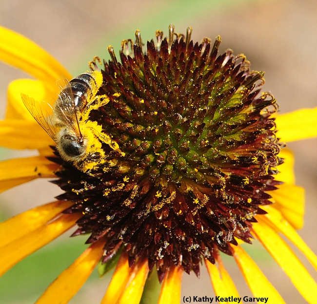 Close-up of honey bee covered with pollen. (Photo by Kathy Keatley Garvey)