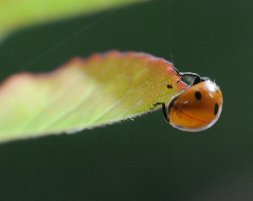 QUICK TURN--A ladybug executes a quick turn on a rose leaf. (Photo by Kathy Keatley Garvey)