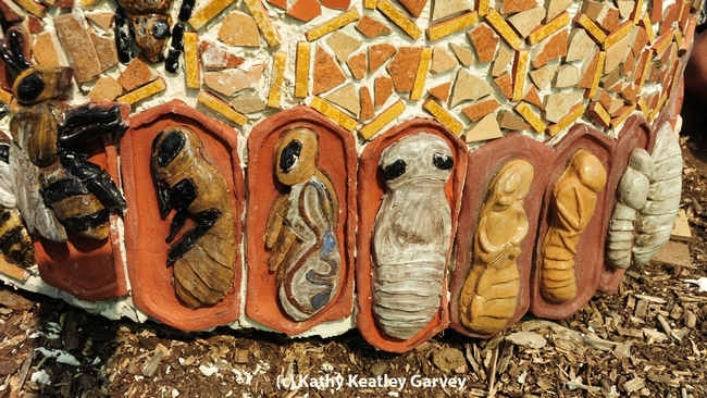 The life cycle of the honey bee. (Photo by Kathy Keatley Garvey)