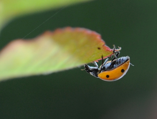 UPSIDE DOWN--A ladybug scoots under a rose leaf. (Photo by Kathy Keatley Garvey)