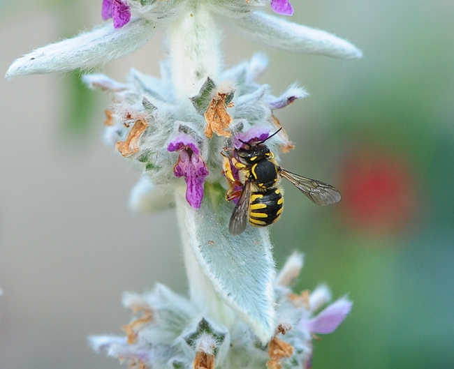 European wool carder bee nectaring on Lamb's Ear. (Photo by Kathy Keatley Garvey)