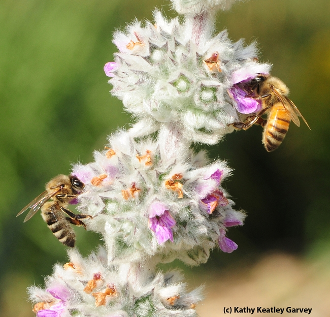 Honey bees are quite distinguishable from European wool carder bees. (Photo by Kathy Keatley Garvey)