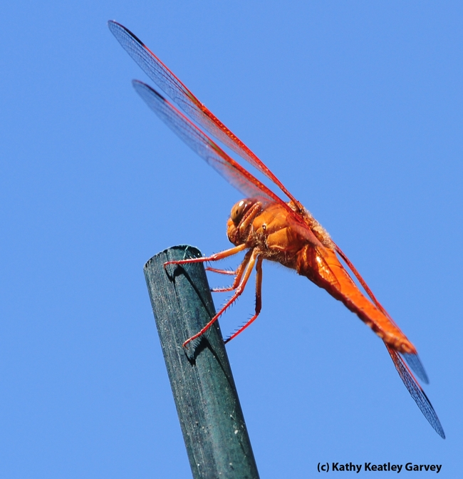 Flame skimmer ((Libellula saturata), outlined against the sky. (Photo by Kathy Keatley Garvey)