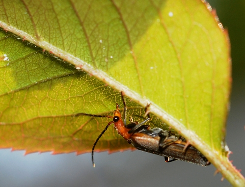 SOLITARY soldier beetle scours for aphids on a rose leaf. (Photo by Kathy Keatley Garvey)