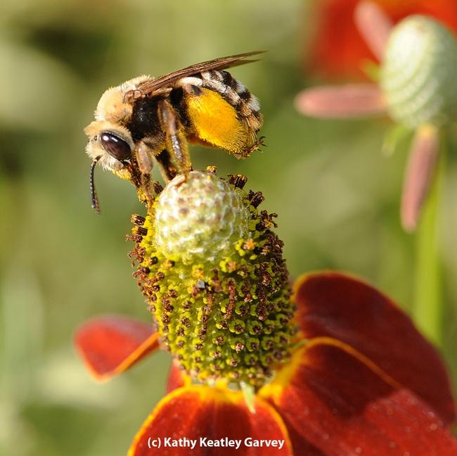 Female sunflower bee, Svastra obliqua expurgata, on Mexican hat flower. Identified by Robbin Thorp.  (Photo by Kathy Keatley Garvey)