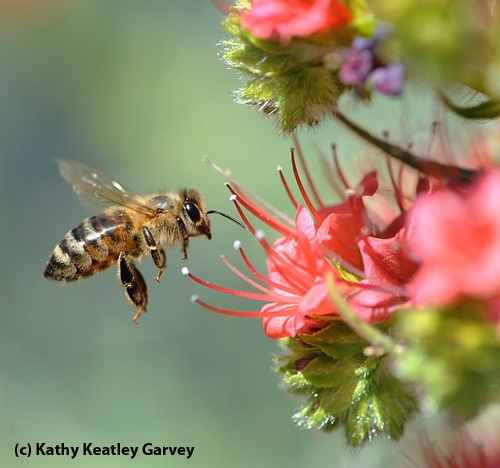 HONEY BEE zeroes in on a ruby-red blossom. (Copyrighted Photo by Kathy Keatley Garvey)