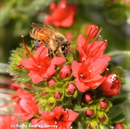 LADY IN RED--A honey bee amid the bright red blossoms of the tower of jewels. Note the blue-gray pollen from the plant on her leg. (Copyrighted Photo by Kathy Keatley Garvey)