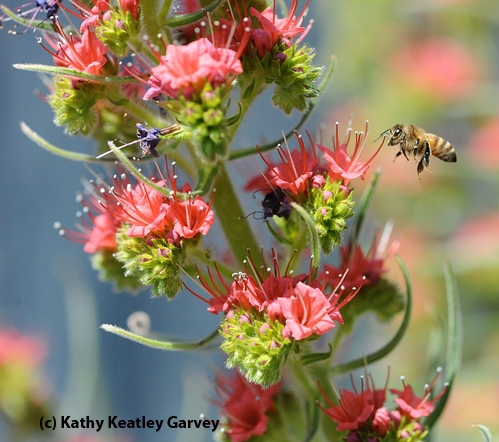 BLUE SKIES, red blossoms,  busy bees. A honey bee heads for a tower of jewels. (Copyrighted Photo by Kathy Keatley Garvey)