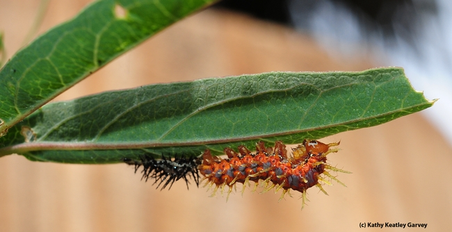 Two stages of caterpillars. (Photo by Kathy Keatley Garvey)