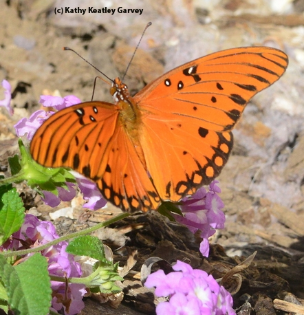 Gulf fritillary butterfly. (Photo by Kathy Keatley Garvey)