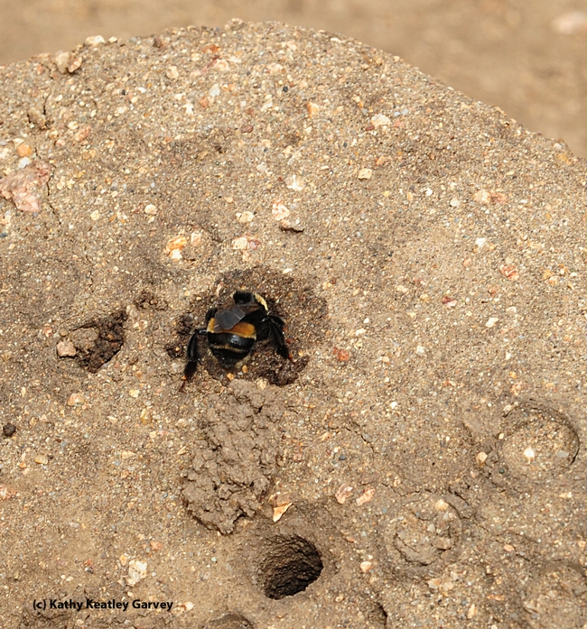 A female digger bee finishes her nest. (Photo by Kathy Keatley Garvey)