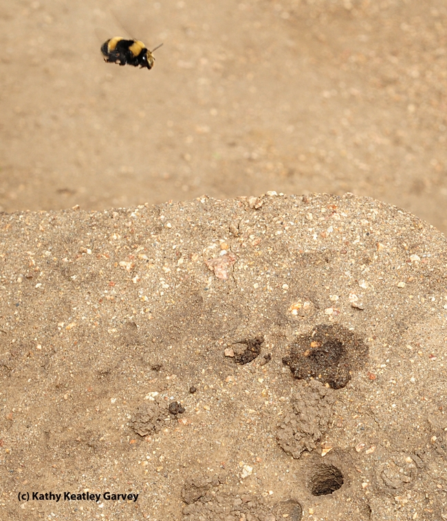 A digger bee scouts the landscape. (Photo by Kathy Keatley Garvey)