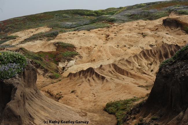 Sandy cliffs of Bodega Head hold bee villages. (Photo by Kathy Keatley Garvey)