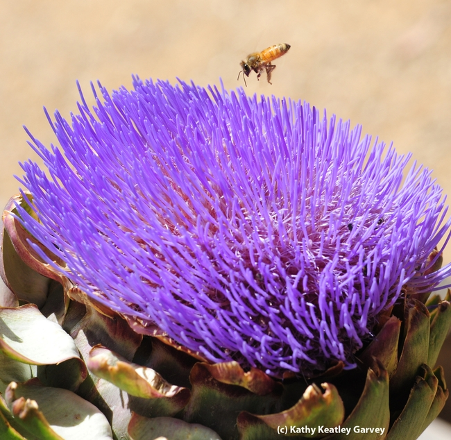 Honey bee heads toward a flowering artichoke. (Photo by Kathy Keatley Garvey)