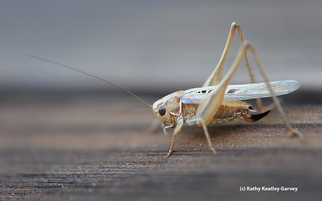A katydid, or