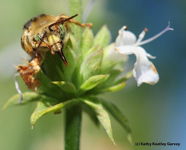 Male long-horned bee, genus Melissodes, probably Melissodes communis, as identified by Robbin Thorp. It is on salvia (sage). (Photo by Kathy Keatley Garvey)