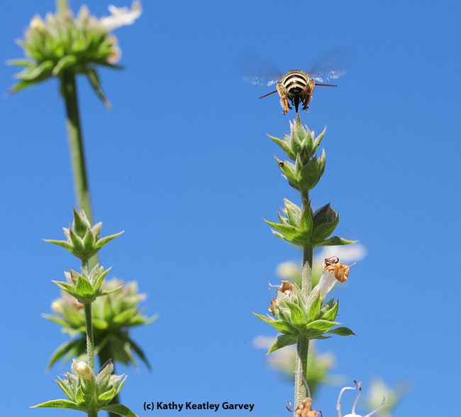 Up, up and away. Male Melissodes, long-horned bee, over salvia. (Photo by Kathy Keatley Garvey)