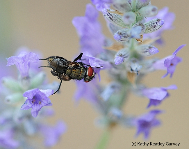Newly emerged green bottle fly nectaring on lavender. (Photo by Kathy Keatley Garvey)