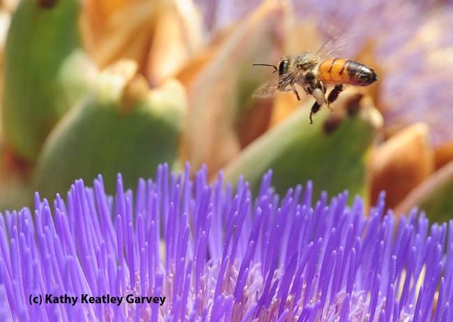 Honey bee packing white pollen. (Photo by Kathy Keatley Garvey)
