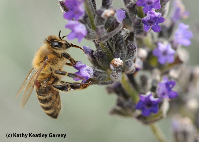Varroa mite on a worker bee foraging in the lavender. (Photo by Kathy Keatley Garvey)