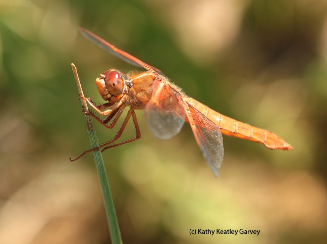 A female flame skimmer. (Photo by Kathy Keatley Garvey)