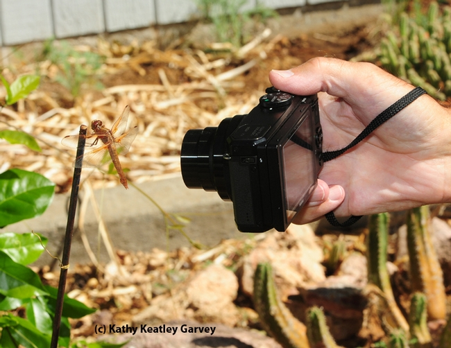Female flame skimmer being photographed with the camera of Gary Zamzow. (Photo by Kathy Keatley Garvey)
